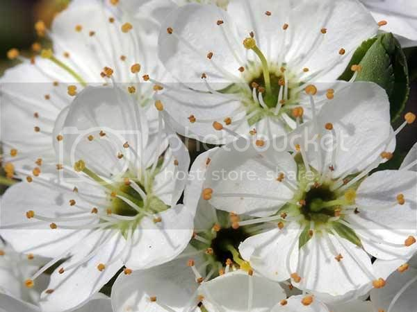 Spring Flowers photo: Spring Flowers wild-cherry-blossom.jpg